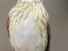 rose breasted grosbeaks -1