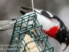 rose breasted grosbeaks -2