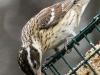 rose breasted grosbeaks -3