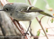 PPL Wetland  ruby crowned kinglet 2 (1 of 1).jpg