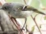 ruby-crowned kinglet