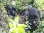 Rwanda Volcano National Park Gorillas October 13 2016