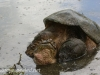 snapping turtle and PPL Wetlands  (19 of 26).jpg