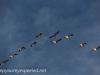 middle creek snow geese (2 of 8).jpg