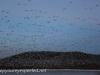 middle creek snow geese (4 of 8).jpg