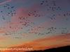 middle creek snow geese (6 of 8).jpg