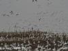 snow geese middle creek (2 of 9).jpg