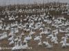 snow geese middle creek (3 of 9).jpg