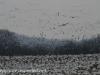 snow geese middle creek (6 of 9).jpg