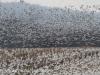 snow geese middle creek (7 of 9).jpg