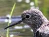 PPL Wetlands sandpiper -11
