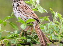 PPL Wetlands birds song sparrow --1