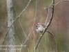 PPL Wetlands birds song sparrow -1
