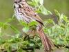 PPL Wetlands birds song sparrow --1