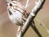 PPL Wetlands birds song sparrow -4
