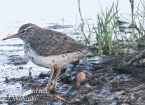 Community sandpiper Hazle township April 272016 -1