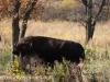 North Dakota Buffalo   (1 of 10)