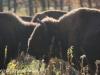 North Dakota Buffalo   (10 of 10)
