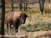North Dakota Buffalo   (2 of 10)