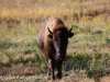 North Dakota Buffalo   (4 of 10)