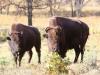 North Dakota Buffalo   (5 of 10)