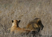 Tanzania-Day-Eleven-Serengeti-lions-1-of-42