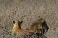 Tanzania Day Eleven Serengeti lions October 8 2019