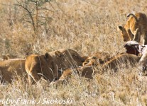 Tanzania-Day-Ten-Serengeti-lions-giraffe-1-of-17