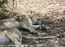 Tanzania-Day-Ten-Serengeti-lion-family-under-1-of-24