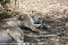Tanzania Day Ten Serengeti Lion family October 7 2019