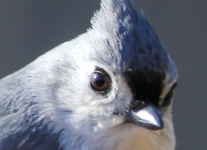 tufted titmouse 3 (1 of 1).jpg