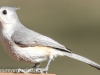 Tufted titmouse (1 of 1).jpg