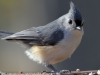 tufted titmouse 2 (1 of 1).jpg