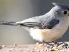tufted titmouse 4 (1 of 1).jpg