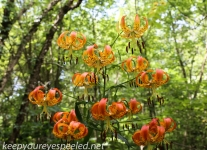 PPL  Wetlands turk's cap lily 111 (1 of 1).jpg