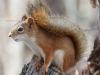 TurtleRiver state park  squirrel 79 (1 of 1)