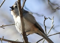 Lehigh Canal tufted titmouse (1 of 14)