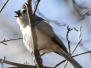 Weissport Lehigh Canal tufted titmouse March 18 2018