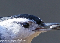 whitebreasted nuthatch 7 (1 of 1).jpg