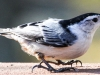 white breasted nuthatch (1 of 1).jpg