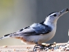 white breasted nuthatch 4 (1 of 1)-2.jpg