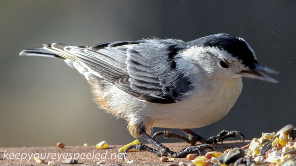 white breasted nuthatch 2 (1 of 1).jpg