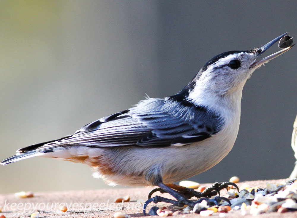 white breasted nuthatch 5 (1 of 1).jpg