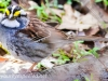 white throated sparrow (1 of 1).jpg