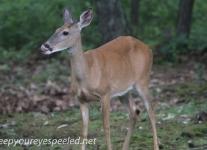 deer (1 of 4).jpg