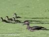 PPL Wetlands Wood duck 5-31-2015 (1 of 1).jpg