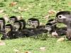 PPL Wetlands Wood duck 5-31-2015 14 (1 of 1).jpg