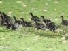 PPL Wetlands Wood duck 5-31-2015 15 (1 of 1).jpg