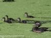 PPL Wetlands Wood duck 5-31-2015 3 (1 of 1).jpg