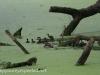 PPL Wetlands Wood duck 5-31-2015 6 (3 of 5).jpg